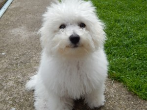 My Poochon Maisie - deanysdesigns.co.uk